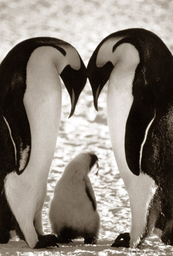 pinguins1